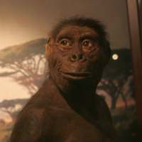 A reconstruction of Lucy at the Warsaw Museum of Evolution