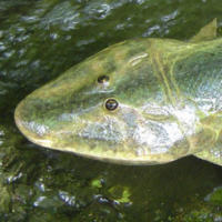 A model of Tiktaalik roseae