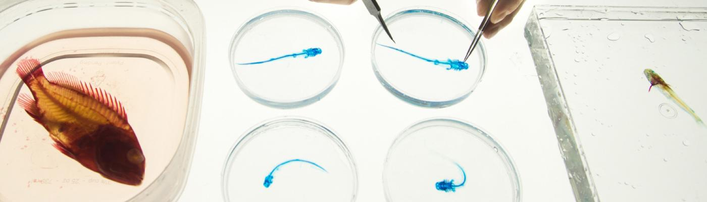 a pair of hands hold tweezers over petri dishes with blue fish in them. A red fish is in a dish at lower left.