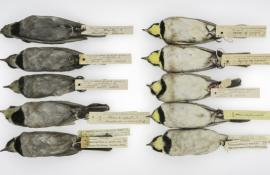 Two sets of horned larks that show ones with sooty bellies and clean bellies