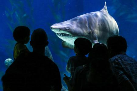 a shark swims toward the glass wall of an aquarium where four people watch it